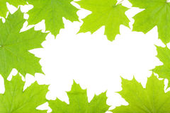 Feuilles vert clair d'érable sur le fond blanc Images stock