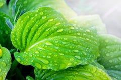 Feuilles vert clair du hosta avec des gouttes de pluie contre le sunli images libres de droits