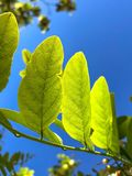 Feuilles vert clair et ciel bleu photographie stock