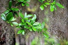 Feuilles vert clair et saines d'arbre tropical Image stock