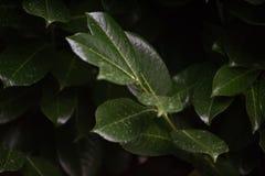 Feuilles vert-foncé sur la branche avec des baisses de pluie Photographie stock