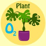 Feuilles vert-foncé tropicales de monstera d'isolement sur le fond jaune philodendron de Fente-feuille Usine mise en pot d'intéri illustration stock