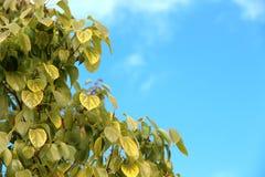 Feuilles vert jaunâtre et ciel bleu Image libre de droits