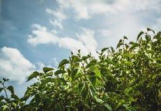 Feuilles vertes Bush lilas sur le fond de ciel bleu photos stock