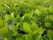 Feuilles vertes croissantes vibrantes et saines image stock