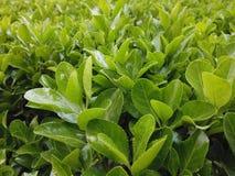 Feuilles vertes croissantes vibrantes et saines photos libres de droits