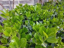 Feuilles vertes croissantes vibrantes et saines images stock