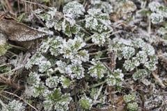 Feuilles vertes d'herbe sauvage couvertes de gel pendant le matin images libres de droits