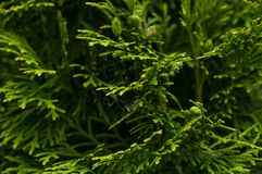 Feuilles vertes d'un arbre de sapin Fond photos libres de droits