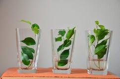 Feuilles vertes dans la cuvette de verre Photos libres de droits