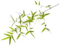 Feuilles vertes de bambou d'isolement sur le blanc Image stock