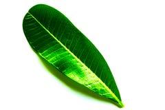 Feuilles vertes de belle texture et jaunes abstraites d'arbre d'isolement sur le modèle et le papier peint blancs de fond photographie stock libre de droits