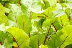 Feuilles vertes de betterave avec les veines rouges Photo stock