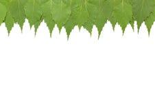 Feuilles vertes de bouleau Image libre de droits