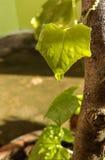 Feuilles vertes de courge de lierre Image libre de droits