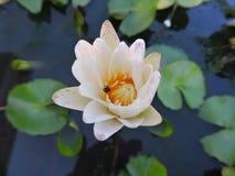 Feuilles vertes de feuille de fleurs de fleur blanche Image stock