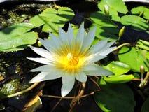 Feuilles vertes de feuille de fleurs de fleur blanche photographie stock libre de droits