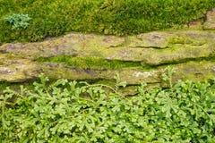 Feuilles vertes de fougère des involvens de Selaginella de mousse de transitoire image stock