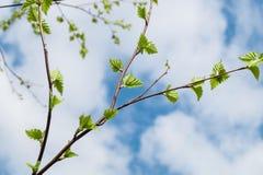 Feuilles vertes de jeunes contre le ciel bleu Image libre de droits