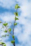 Feuilles vertes de jeunes contre le ciel bleu Images stock
