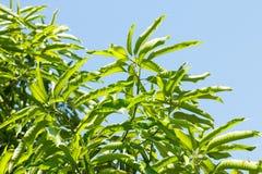 Feuilles vertes de mangue Image libre de droits