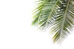 Feuilles vertes de noix de coco belles d'isolement sur le fond blanc Photographie stock libre de droits