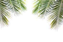 Feuilles vertes de noix de coco belles d'isolement sur le fond blanc Photos stock