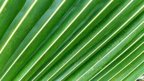 Feuilles vertes de noix de coco Image libre de droits