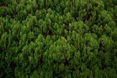 Feuilles vertes de pin, texture de fond Photos stock