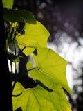 Feuilles vertes de plante fruitière de chayote de rampement Photographie stock libre de droits