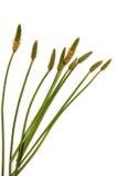 Feuilles vertes de tiges et cosses mûres de graine d'herbe sauvage Image libre de droits