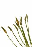 Feuilles vertes de tiges et cosses mûres de graine d'herbe sauvage Images stock