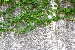 Feuilles vertes de vigne de lierre Photos libres de droits