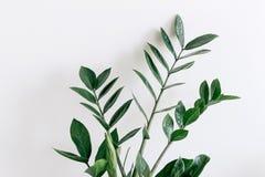 Feuilles vertes de Zamioculcas avec le fond blanc Image libre de droits