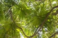 Feuilles vertes des paumes de fan dans la perspective des branches d'arbre photos stock