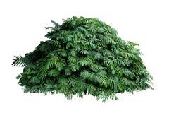 Feuilles vertes du cep de vigne indigène de liane de pinnatum d'Epipremnum de Monstera s'élevant dans le jardin tropical sauvage  photo libre de droits