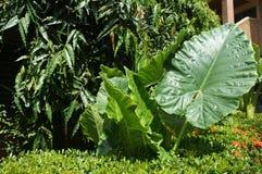 Feuilles vertes et énormes luxuriantes des tropiques photographie stock libre de droits