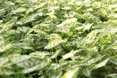 Feuilles vertes et de blanc Photo stock