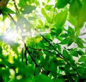 Feuilles vertes fraîches d'arbre avec le rayon de lumière du soleil Photos libres de droits