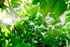 Feuilles vertes fraîches d'arbre avec le rayon de lumière du soleil Image libre de droits