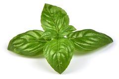 Feuilles vertes fraîches d'herbe de basilic, d'isolement sur le fond blanc Basilic Genovese doux Plan rapproché Photo stock