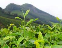 Feuilles vertes fraîches d'usine de thé - Camellia Sinensis - dans la plantation de thé au-dessus des collines Images libres de droits