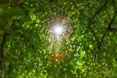 Feuilles vertes fraîches dans une forêt et rayons du soleil par les branches des arbres du ciel dans le jour d'été images libres de droits