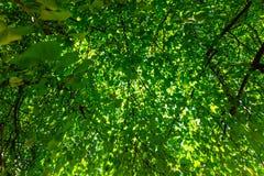 Feuilles vertes fraîches dans une forêt et rayons du soleil par les branches des arbres du ciel dans le jour d'été photo stock