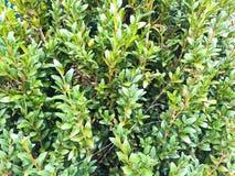 Feuilles vertes fraîches de buxus Plan rapproché de buis à feuilles persistantes de buisson dans la nature Concept : Verdure, mod image stock