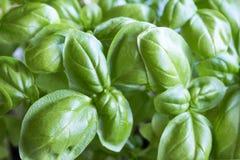 Feuilles vertes fraîches de jeunes usines de basilic Images stock