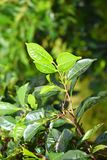 Feuilles vertes fraîches de l'usine de thé - Camellia Sinensis sur le fond vert Photographie stock