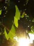 Feuilles vertes fraîches de mangue Photographie stock libre de droits