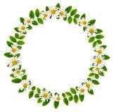 Feuilles vertes fraîches des fleurs sibériennes de peashrub et de marguerite dans un r image stock