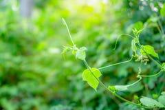 Feuilles vertes molles de jeune bourgeon frais de grimpeur écartant sur le fond brouillé par usine naturelle de verdure sous la l image libre de droits